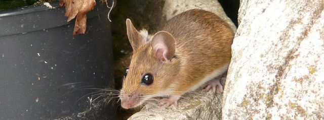 mouse pest control Harlow