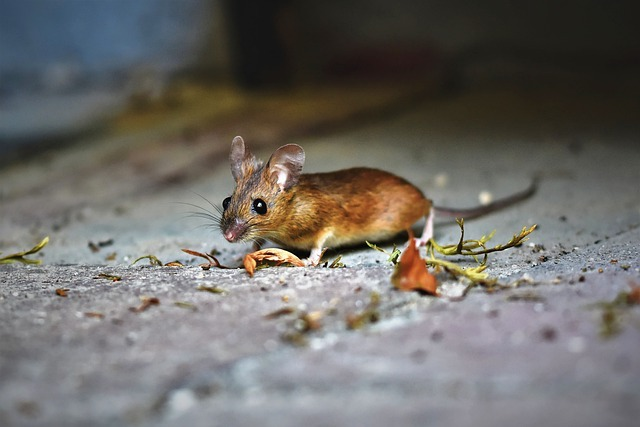 an essex mouse