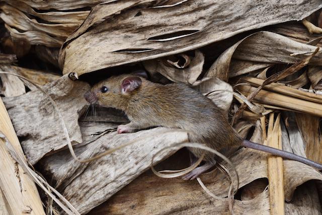 rat in an essex garden