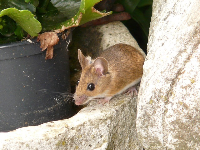 small field mouse