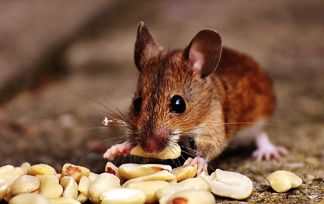 mice need business pest control