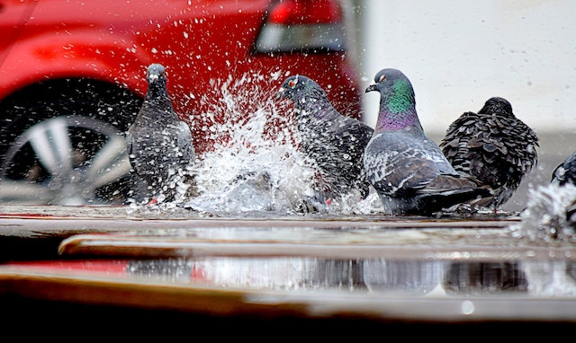 pigeons in water