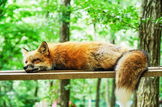 fox in a brentwood garden