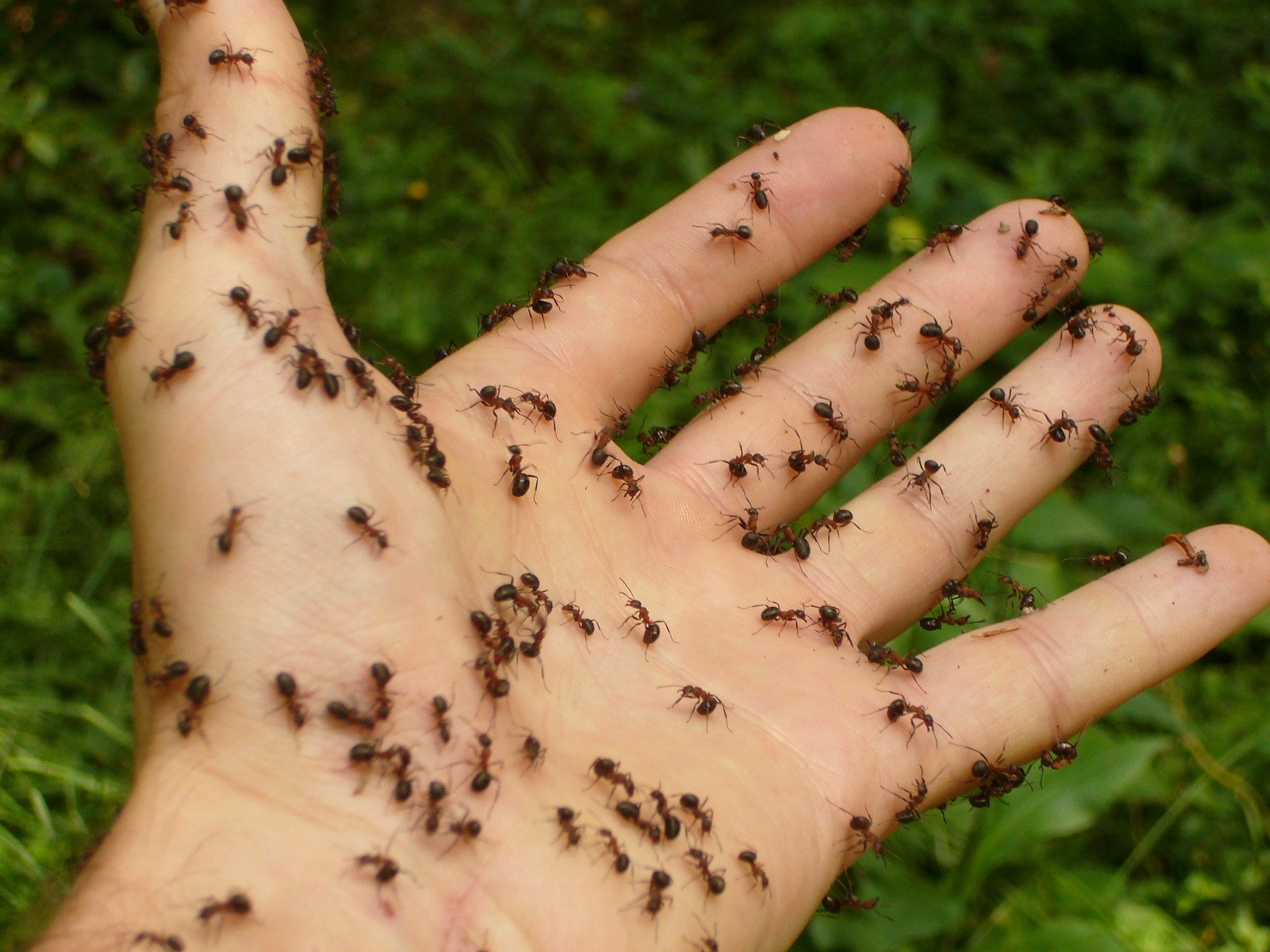 Ant Control  by Pest Exterminator Essex