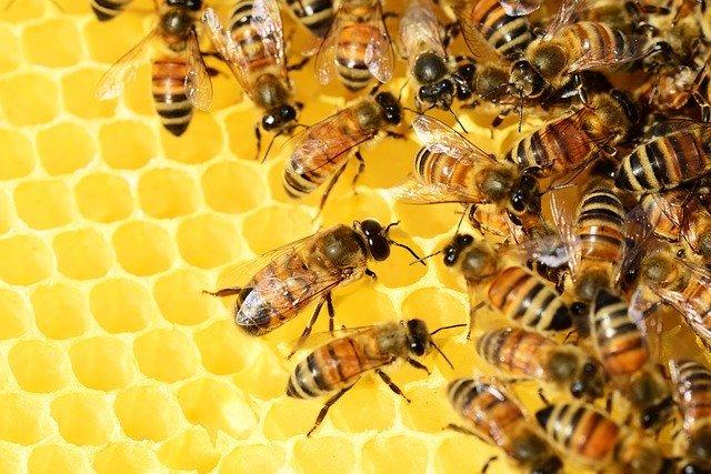 killer bees colony