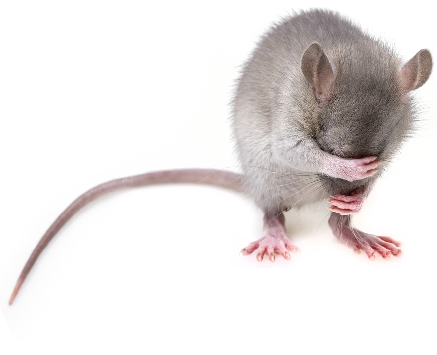 Rat & Rodent Control Pest Exterminators Essex