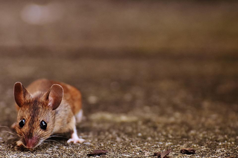 Rodent Control by Pest Exterminators Essex
