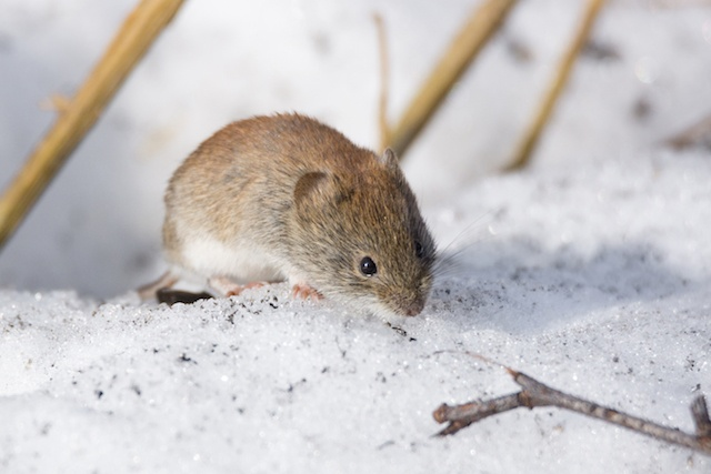 mouse in winter snow