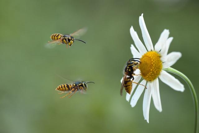 wasps in a garden in essex