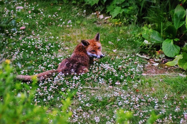 how to stop foxes digging in your garden