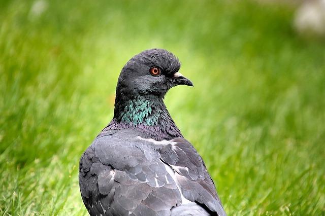 pigeons in essex park