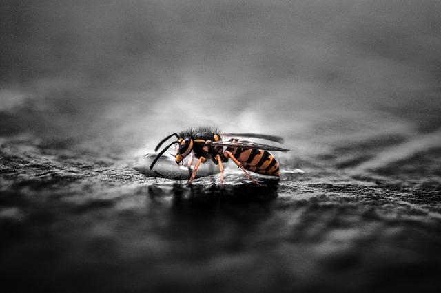 queen wasp in winter