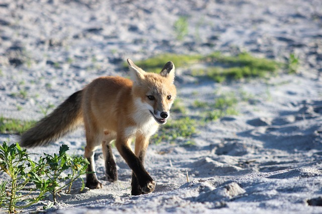 fox by the coast in essex