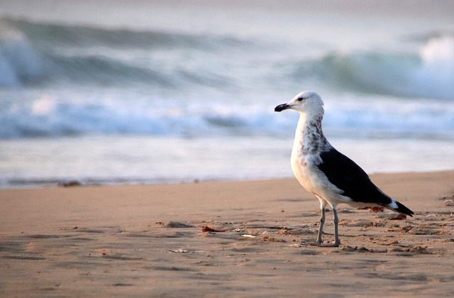 seagull on an essex beach