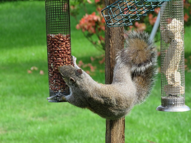 grey squirrel on bird feeder