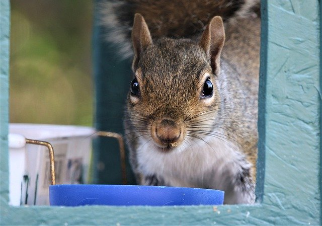 what problems do grey squirrels cause