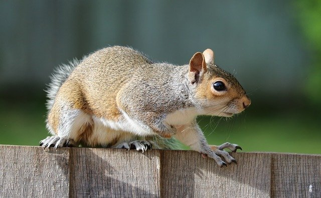 do squirrels nest in houses