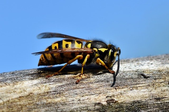 wasp garden insect