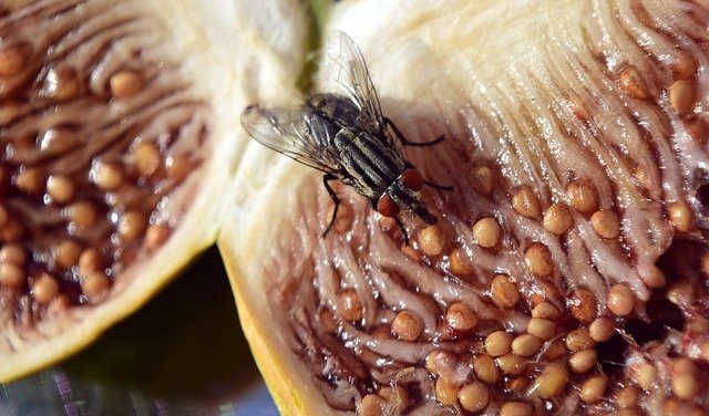 fly on a fig
