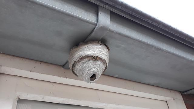 queen wasp nest