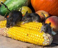 mice on corn