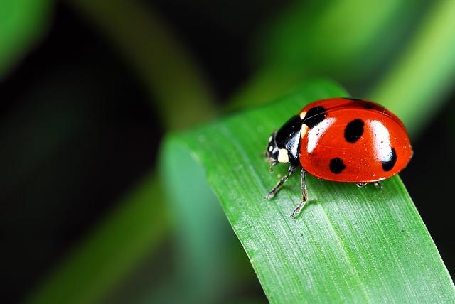 ladybird beneficial