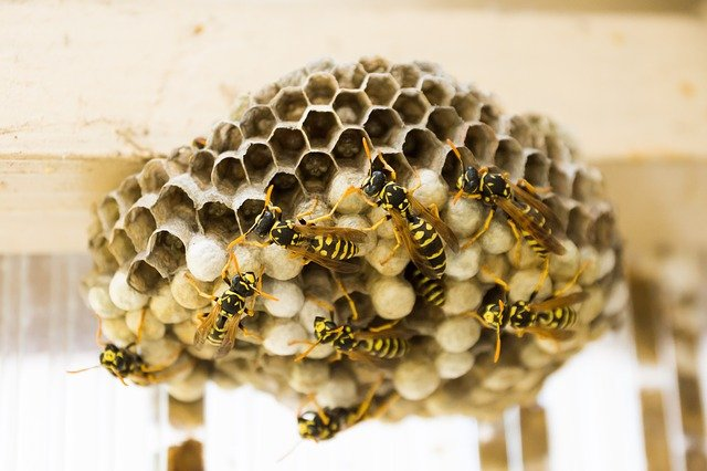 wasp nest spring